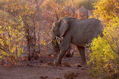 Wüstenelefanten, Kunene Region, Damaraland